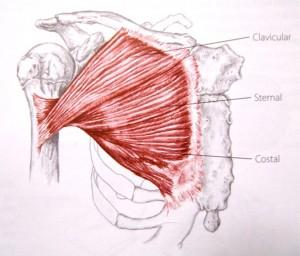 ejercicios en casa para pectorales musculo