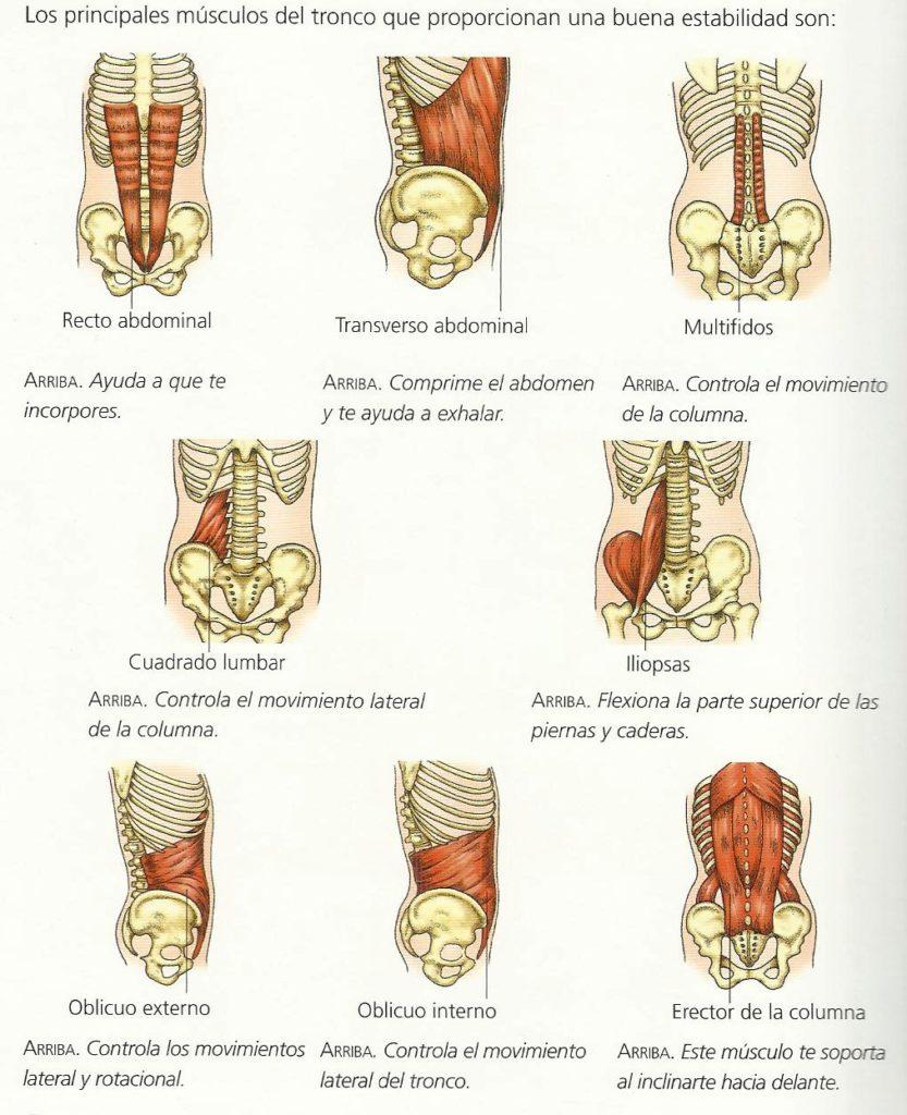 musculacion musculos
