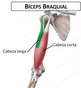 curl de biceps musculo