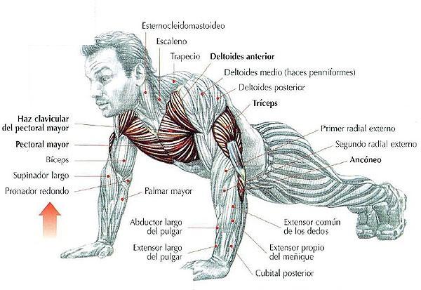 flexiones de brazo dibujo